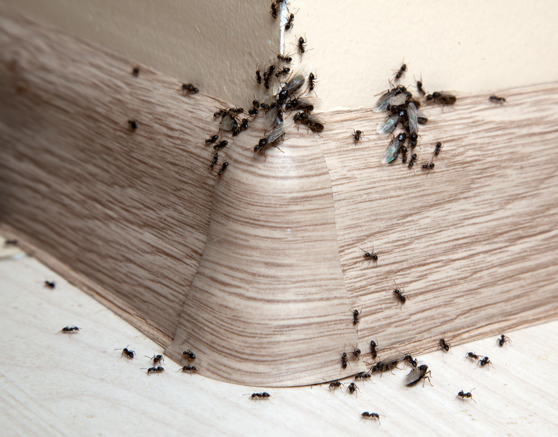 Ant Infestation, Pest Control in Chadwell Heath, Little Heath, RM6. Call Now 020 8166 9746