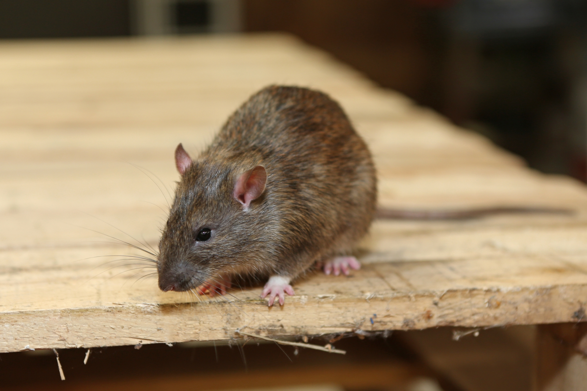 Rat Control, Pest Control in Chadwell Heath, Little Heath, RM6. Call Now 020 8166 9746